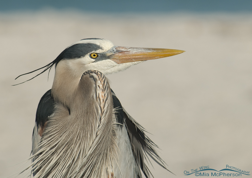 Great Blue Heron with sand background