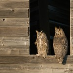 A mated pair of Great Horned Owls.