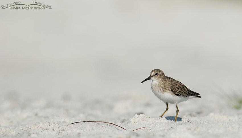 Least Sandpiper - small in frame