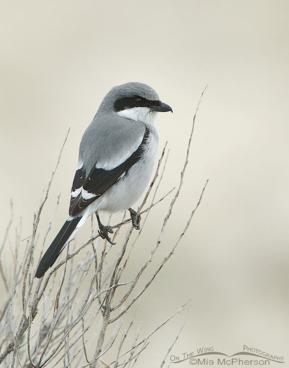 Loggerhead Shrike in early spring