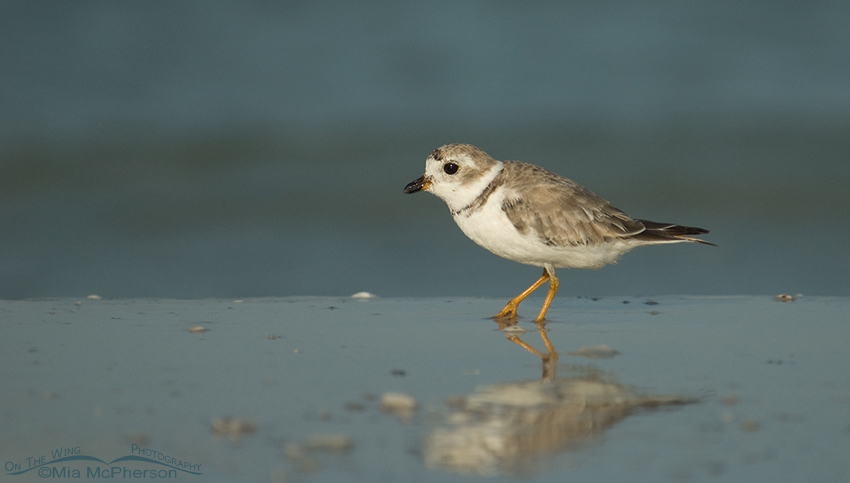 Piping Plover and reflection
