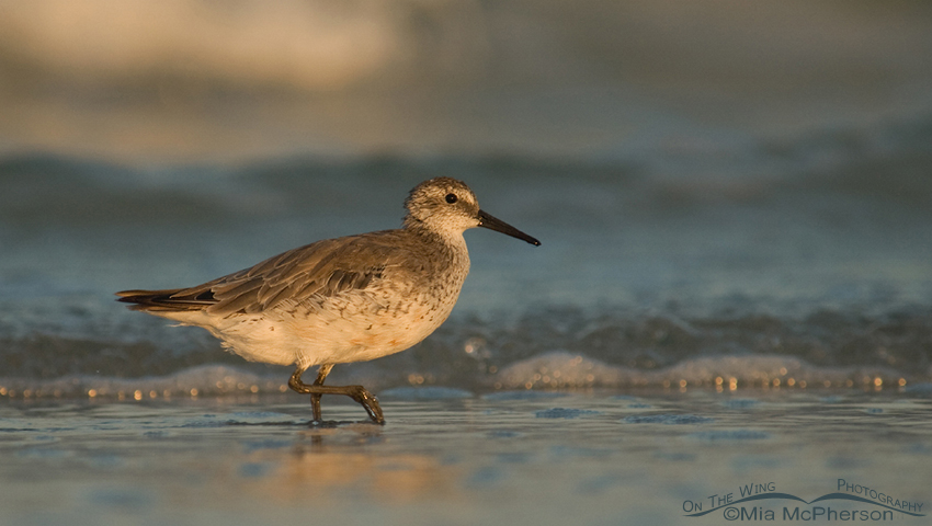 Red Knot in nonbreeding plumage