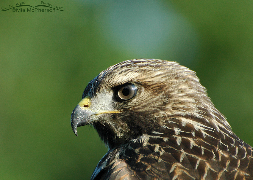 Juvenile Red-shouldered Hawk