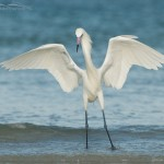 The Dancer - White Morph of Reddish Egret