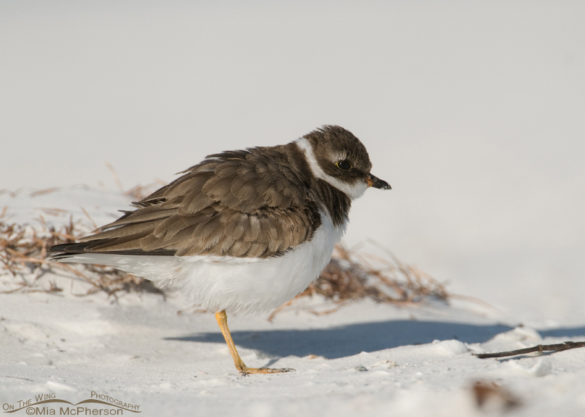 A Fluffed up Semipalmated Plover