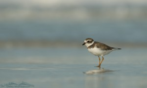 Shoreline Semipalmated Plover