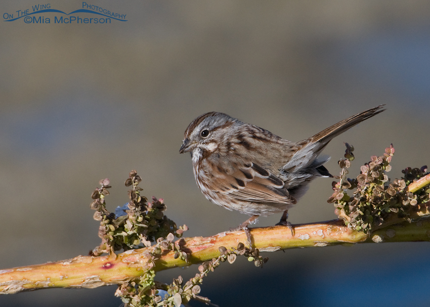 Song Sparrow perched on Curlydock
