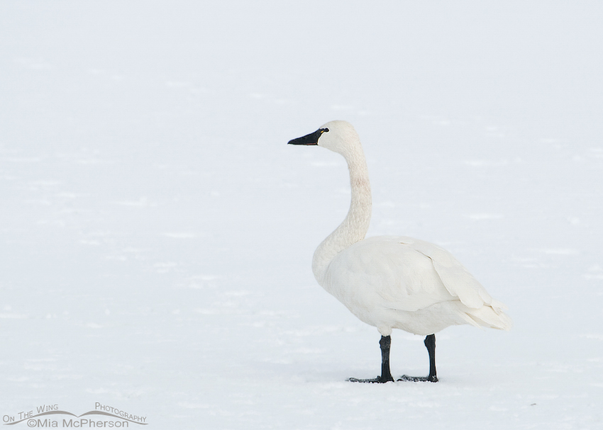 Tundra Swan on a field of snow