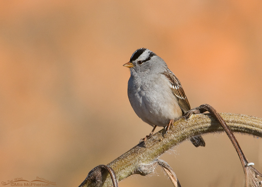 Adult White-crowned Sparrow with a Punkin Patch background