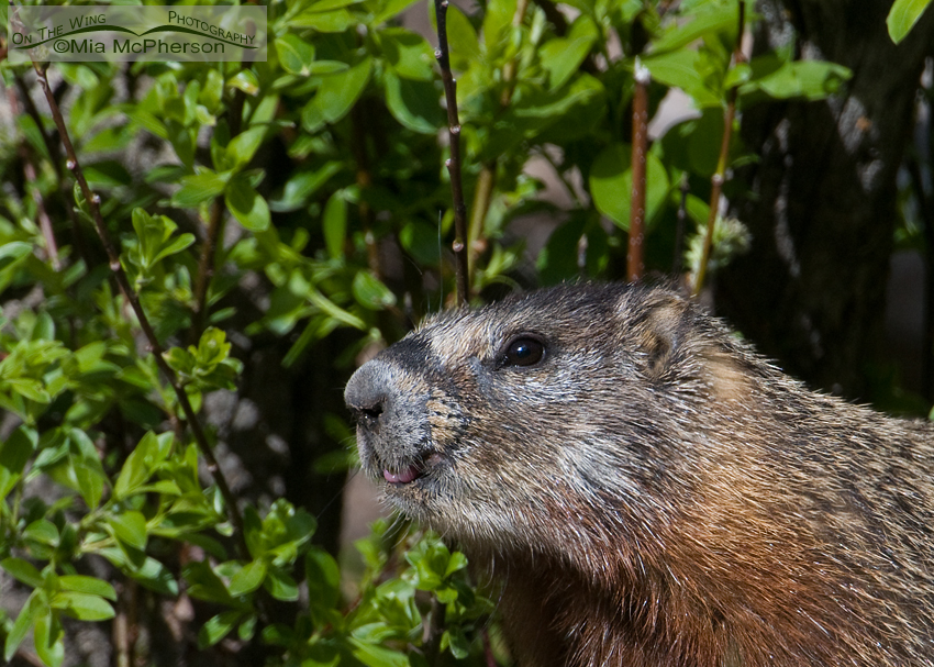 Yellow-bellied Marmot raspberry