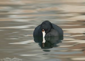 American Coot and reflection