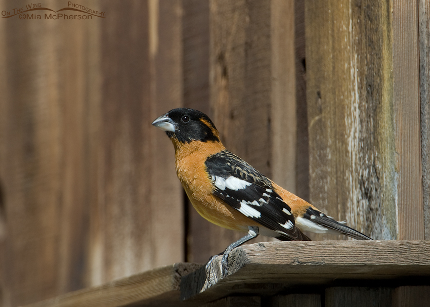 Male Black-headed Grosbeak perched on an old wooden building