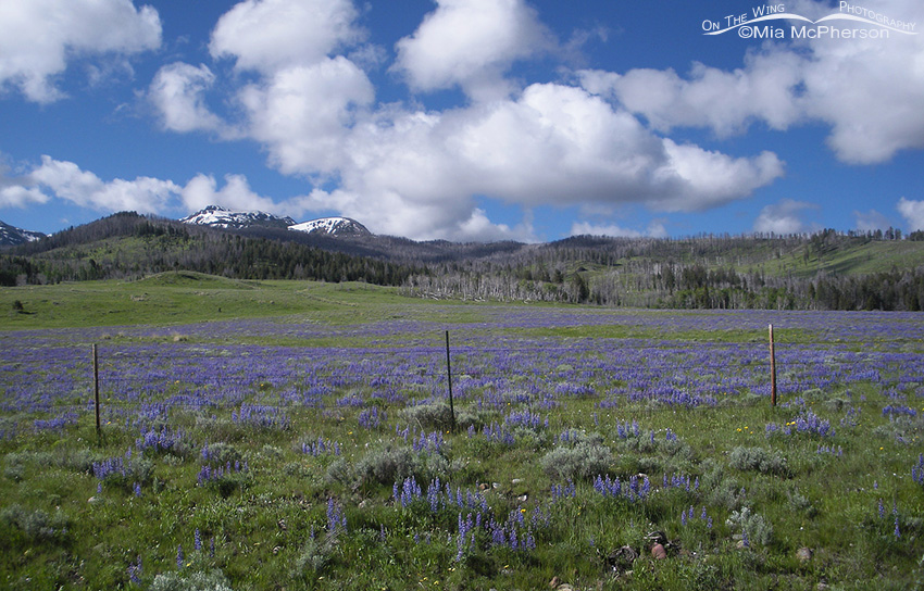 Silvery Lupine in the Centennial Valley of Montana