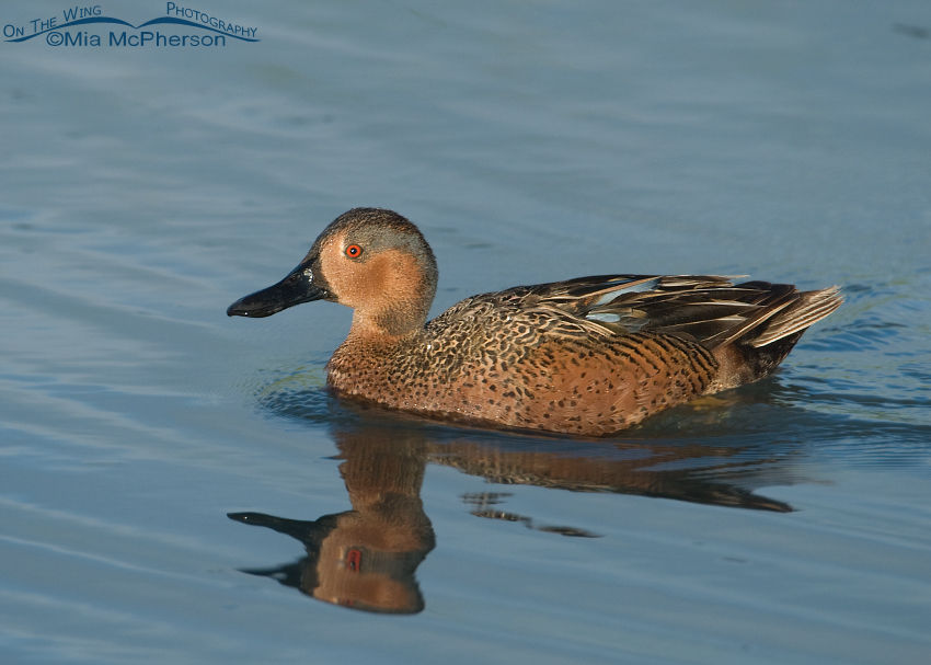 Cinnamon x Blue-winged Teal Hybrid Duck