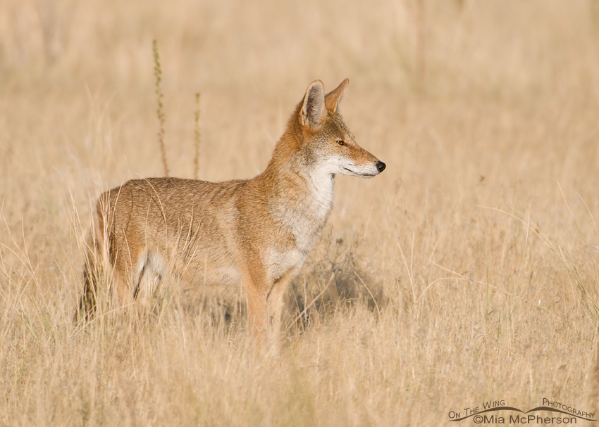 A Coyote is a Noble Beast