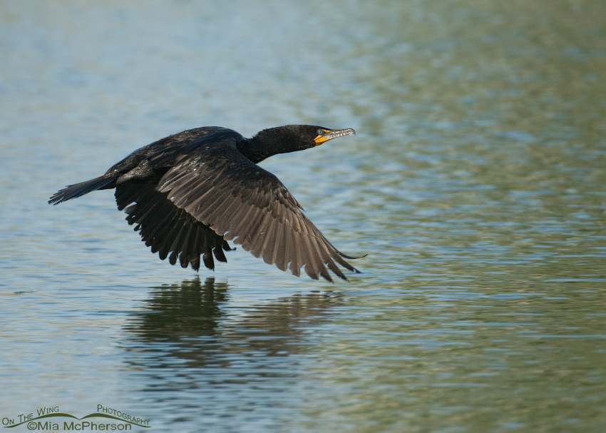 Double-crested Cormorant in flight over Willow Pond