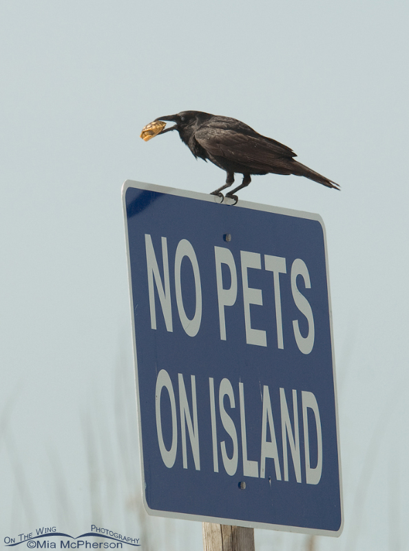 Fish Crow with a young Gopher Tortise on a No Pets sign