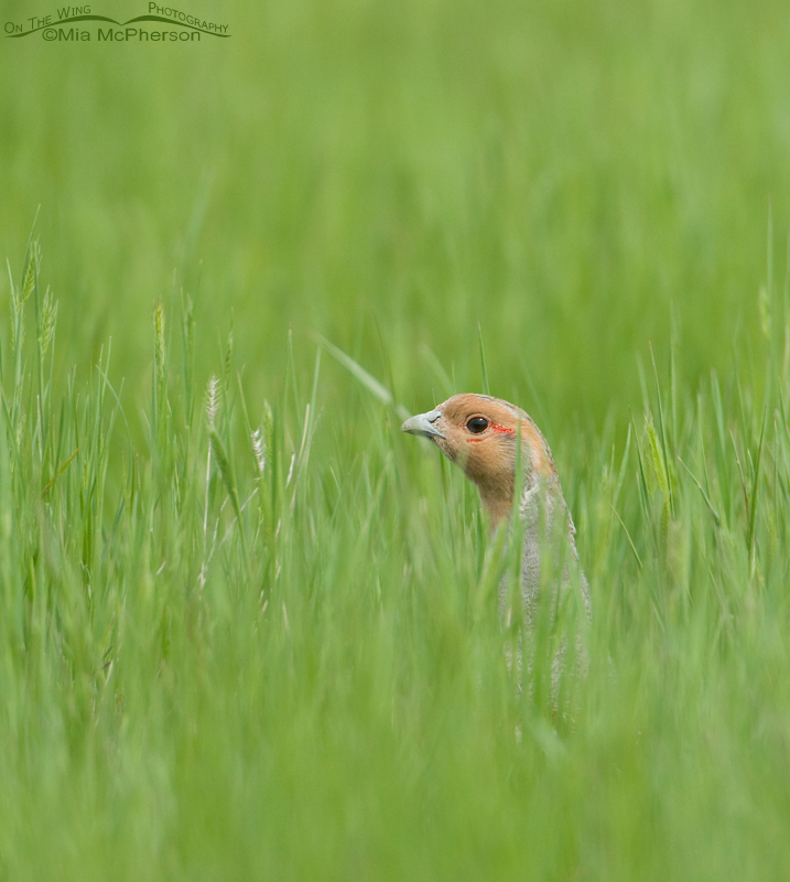 Gray Partridge in fresh green grasses