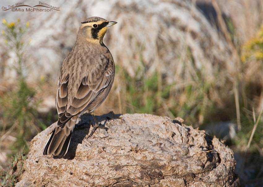Horned Lark Bison pooh perch
