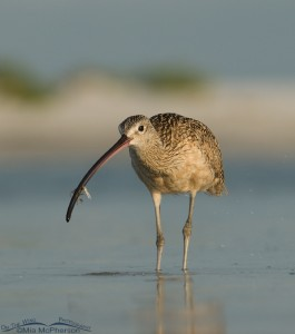 Long-billed Curlew with Fiddler Crab