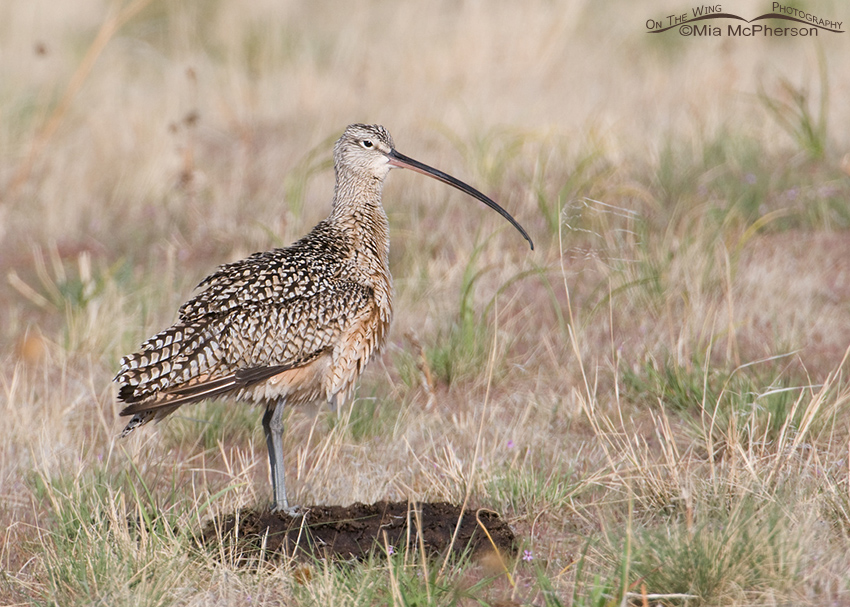Long-billed Curlew on a Bison Poop Perch