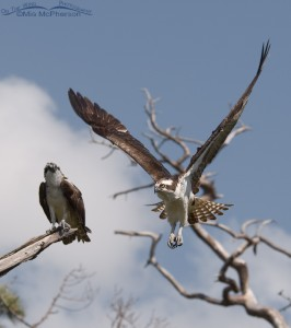Male Osprey in flight as the female watches