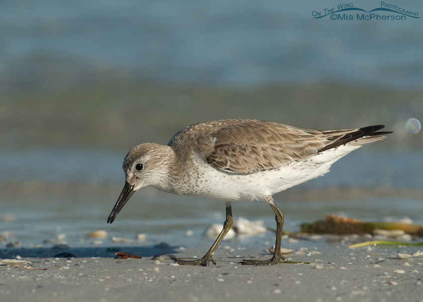 Red Knot Images