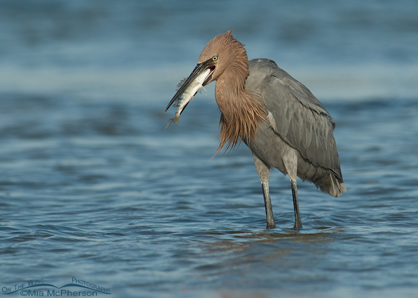 Reddish Egret with a fish in a lagoon