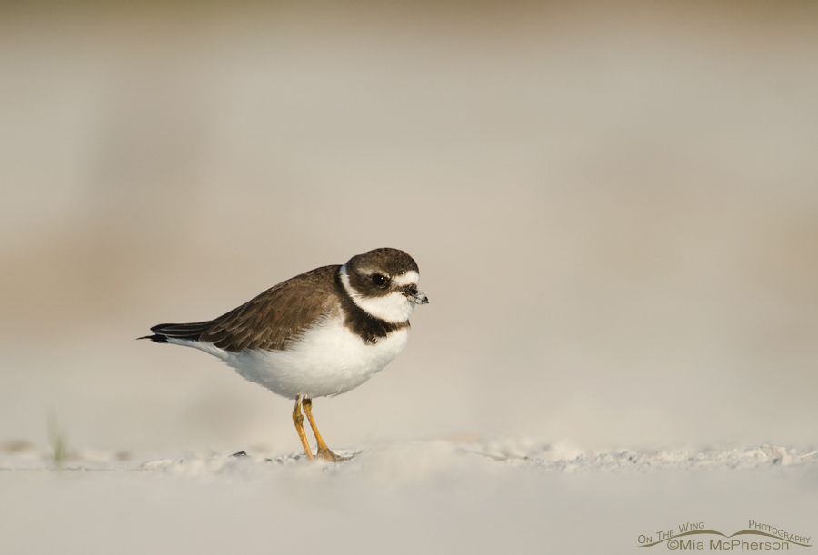 Adult Semipalmated Plover