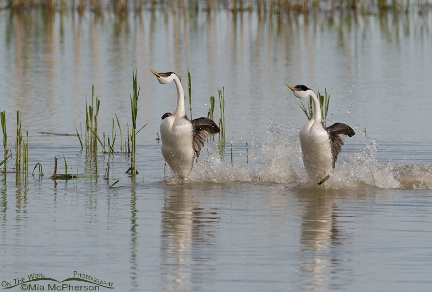 Rushing Western Grebes