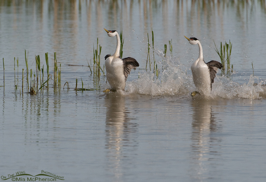 Rushing Western Grebes dancing across the water