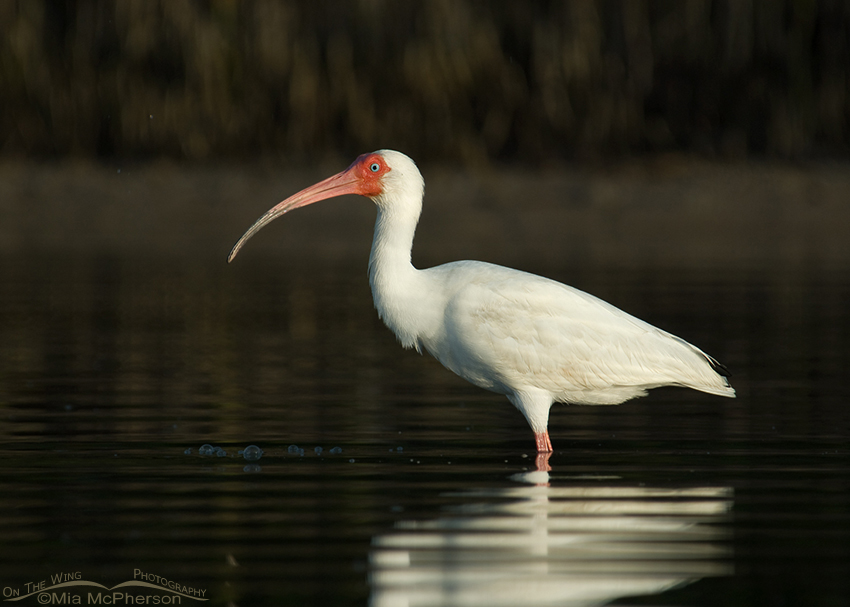 Adult White Ibis in the dark waters of a lagoon