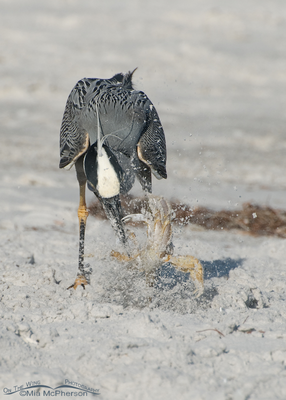 Yellow-crowned Night Heron catching a Ghost Crab
