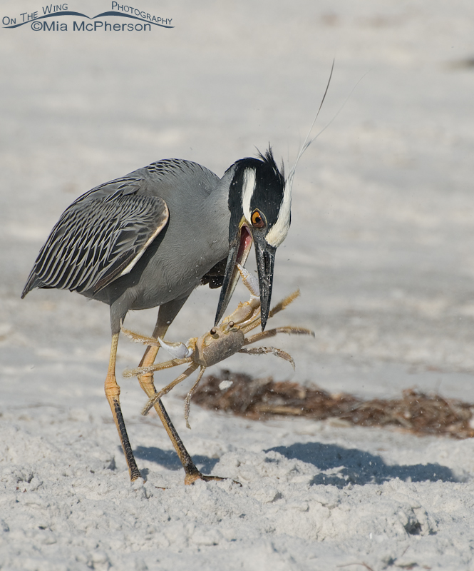 Yellow-crowned Night Heron with a Ghost Crab biting back