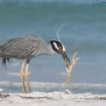 Yellow-crowned Night Heron with a Ghost Crab