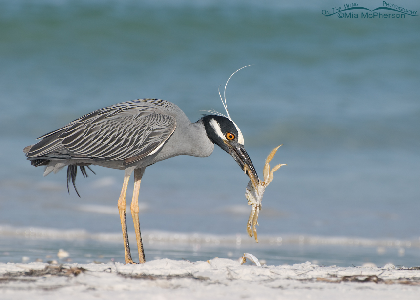 Yellow-crowned Night Heron tearing up a Ghost Crab