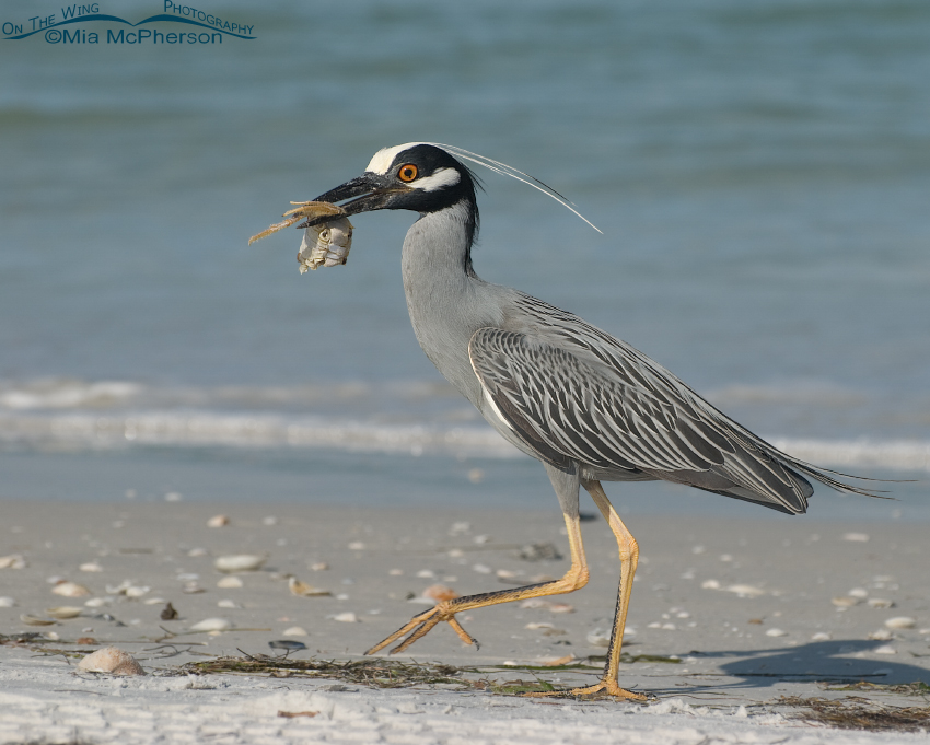 Yellow-crowned Night Heron with breakfast on the go