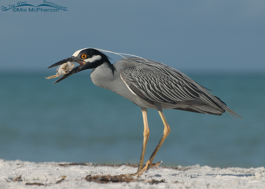 Yellow-crowned Night Heron with nearly devoured Ghost Crab