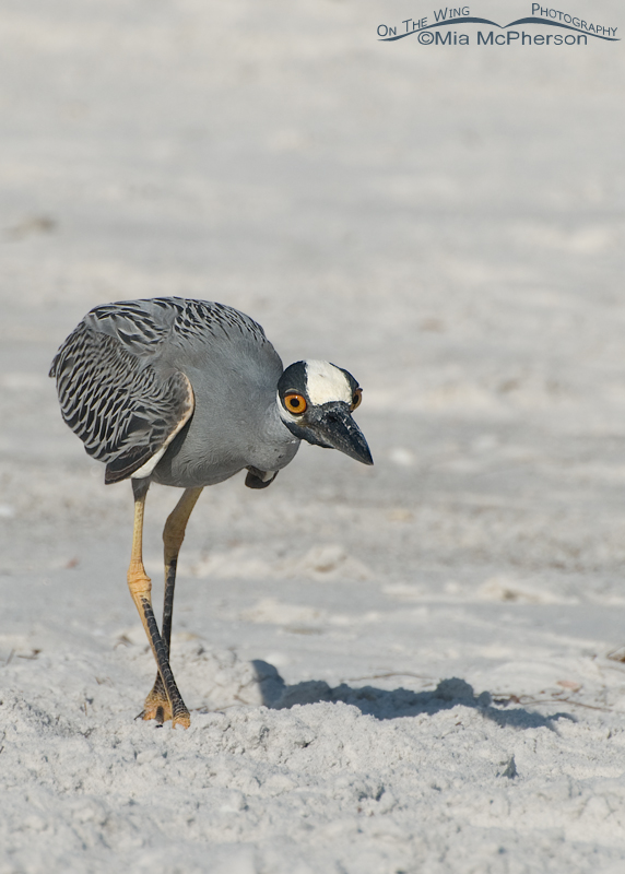 Yellow-crowned Night Heron stalking a Ghost Crab