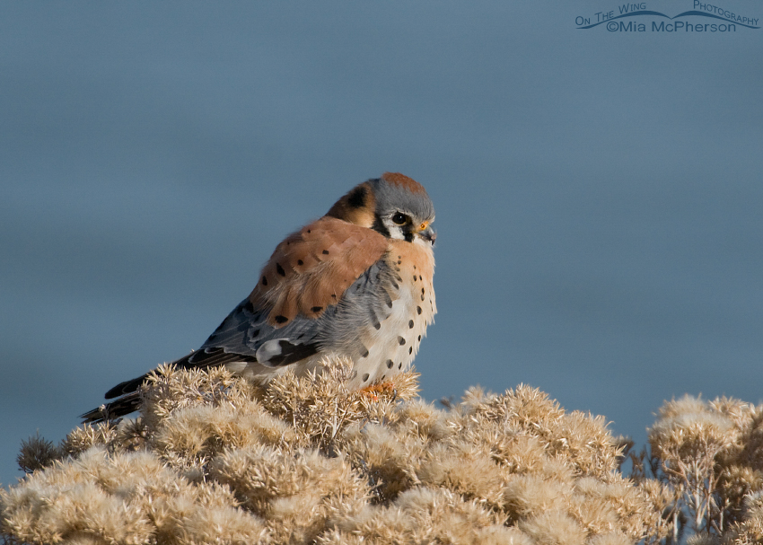 Male American Kestrel resting near the shore of the Great Salt Lake