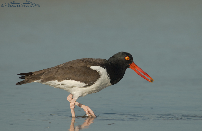 American Oystercatcher with a Coquina