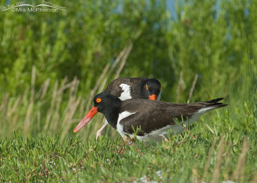 American Oystercatchers changing brooding duties