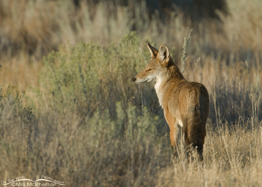 Morning Coyote