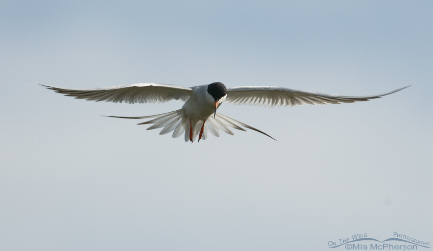 Forster's Tern hovering over a marsh