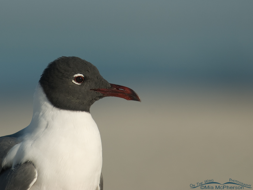 Peaceful Laughing Gull portrait