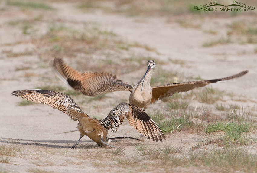 Long-billed Curlews fighting on territory