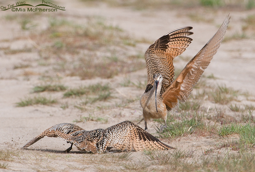 Long-billed Curlew Appeasement behavior