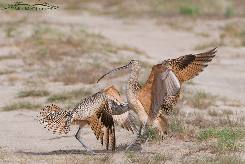 Long-billed Curlews getting physical