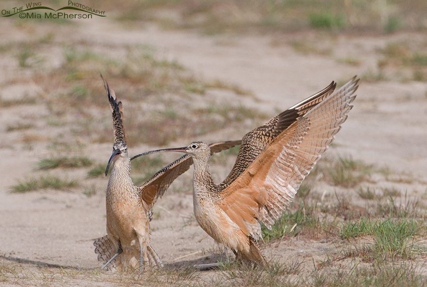 Long-billed Curlew Wing-raising behavior