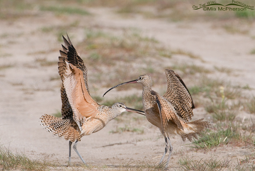 Long-billed Curlew territorial skirmish